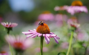 Picture flower, summer, macro, flowers, bee, background, blur, garden, insect, bee, pollination, bokeh