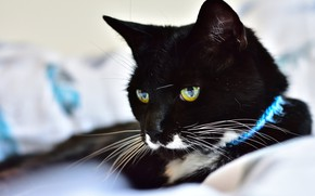 Picture cat, cat, look, face, black, portrait, lies, collar, light background, green eyes