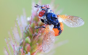 Picture drops, macro, Rosa, fly, background, plant, insect, fly