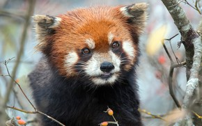 Picture look, branches, portrait, red Panda, face, red Panda