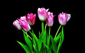 Picture tulips, pink, black background