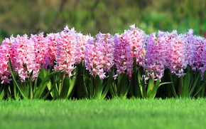 Picture greens, grass, flowers, lawn, spring, pink, flowerbed, hyacinths