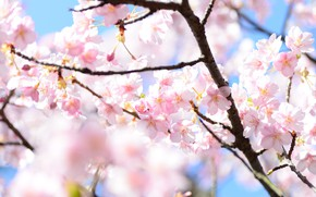 Picture light, flowers, branches, blur, spring, Sakura, pink, flowering, a lot, blue background, bokeh