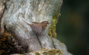 Picture nature, bird, Wren