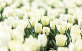 Picture flowers, garden, tulips, white
