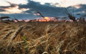 Picture wheat, field, Paul Sahaidak