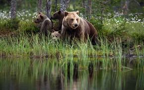 Picture reflection, bears, nature, shore, pond, brown, summer, three bear, grass, bears, bear