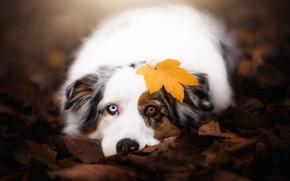 Picture autumn, look, face, leaves, nature, background, mood, leaf, portrait, dog, lies, different eyes, Australian shepherd, ...