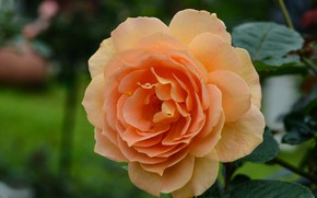 Picture close-up, rose, orange, petals