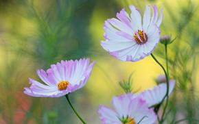 Picture space, flowers, green, background, garden, kosmeya, cosmos