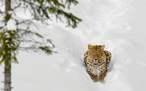 Picture winter, face, snow, branches, nature, pose, tree, stay, spruce, leopard, the snow, lies, needles, closed …