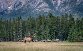 Picture field, forest, landscape, nature, deer