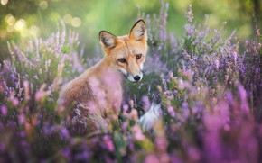 Picture look, flowers, nature, pose, glade, portrait, blur, muzzle, Fox, red, pink, sitting, Fox, bokeh, Fox, …