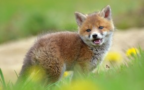 Picture grass, look, nature, glade, spring, Fox, dandelions, face, cub, Fox, Fox