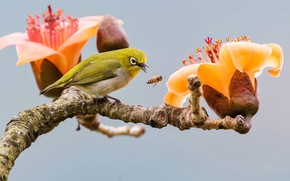 Picture nature, tropics, bee, bird, branch, insect, flowers, white eye, cotton tree