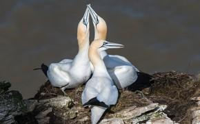 Picture birds, trio, gannets