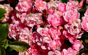 Picture pink, roses, petals