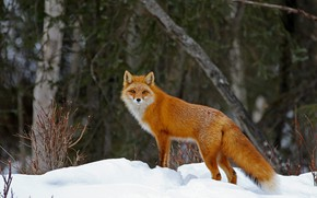 Picture winter, forest, look, snow, trees, nature, Fox, red