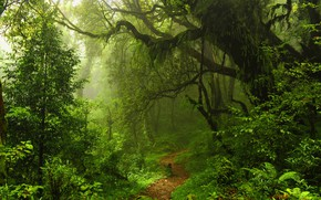Picture forest, trees, haze, path, Selva