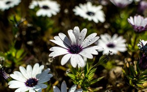 Picture flowers, osteospermum, white, glade