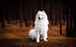 Picture forest, language, look, trees, nature, the dark background, trunks, dog, white, face, sitting, Samoyed