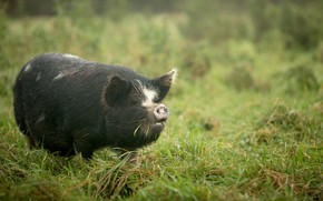 Picture nature, background, pig