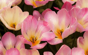 Picture macro, flowers, spring, petals, tulips, pink, flowerbed, a lot