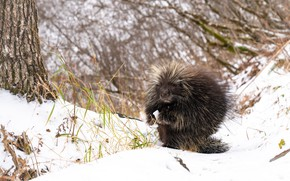 Picture winter, face, snow, needles, branches, nature, pose, tree, porcupine