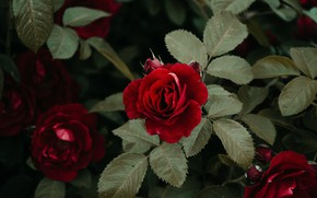 Picture leaves, rose, garden, red