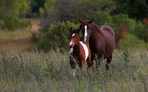 Picture field, summer, nature, vegetation, horse, two, horses, horse, pair, mom, the bushes, foal, foal, two …
