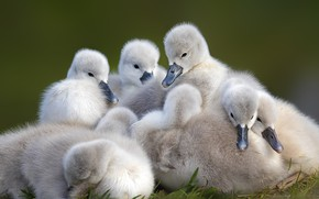 Picture birds, together, kids, company, swans, Chicks, brood, the Lebeda