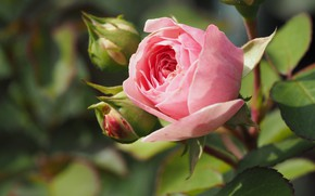 Picture Bush, roses, buds