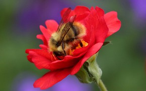 Picture flower, macro, background, insect, Bumblebee, Geum
