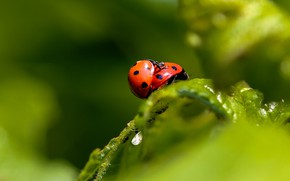 Picture macro, insects, two, leaf, ladybug, beetle, pair, bugs, a couple, two, green background, ladybugs, bokeh, …