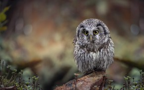 Picture grass, look, nature, background, owl, bird, stone, bokeh, owl