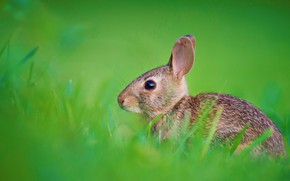 Picture grass, nature, hare, rabbit, ears