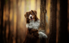 Picture trees, dog, bokeh, Australian shepherd, Aussie