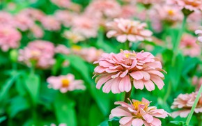 Picture flowers, pink, zinnia