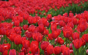 Picture tulips, red, buds, al, a lot