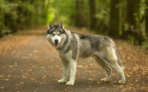 Picture road, autumn, forest, language, look, face, leaves, trees, nature, dog, walk, husky, Siberian husky