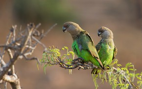 Picture leaves, birds, branch, green, parrot, pair, parrots, a couple, Duo, two, two birds, two parrots