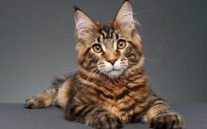 Picture cat, cat, look, pose, portrait, lies, grey background, face, Maine Coon, Studio
