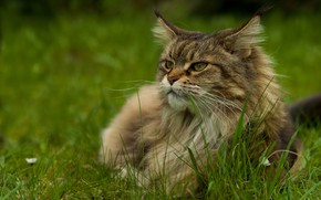 Picture cat, summer, grass, cat, look, face, grey, fluffy, Maine Coon