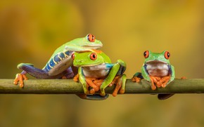 Picture look, macro, pose, background, frog, frogs, three, trio, yellow background, Trinity, red-eyed tree frog, three …
