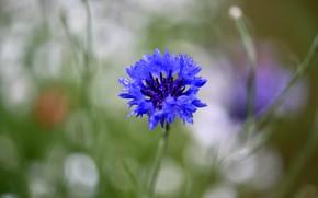 Picture flower, drops, blue, blur, cornflower, bokeh, cornflower, field