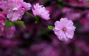 Picture leaves, flowers, the dark background, blur, branch, spring, Sakura, pink, flowering, lilac, bokeh