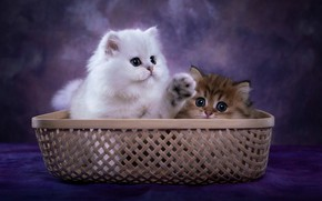 Picture cats, pair, kittens, basket, photoart
