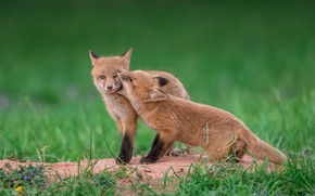 Picture grass, Fox, a couple, cubs, two Fox