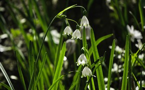 Picture greens, leaves, light, flowers, the dark background, glade, spring, snowdrops, white, bokeh