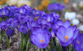 Picture flowers, blue, spring, crocuses